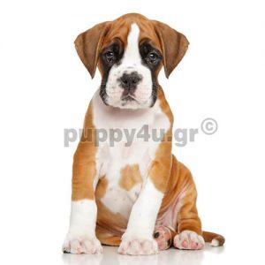 Μπόξερ | puppy4u.gr