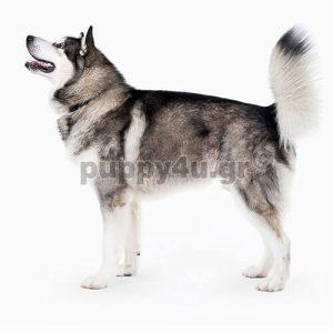 Αλάσκας Μαλαμούτ | puppy4u.gr