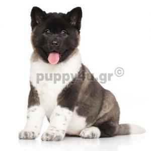 Αμερικάνικο Ακίτα | puppy4u.gr