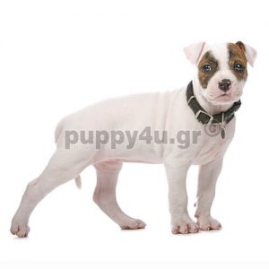Αμερικανικό Μπουλντόγκ | puppy4u.gr