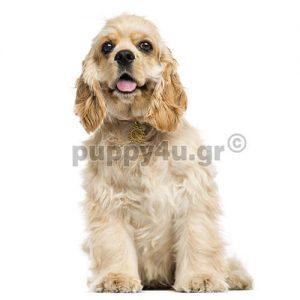 Αμερικάνικο Κόκερ Σπάνιελ | puppy4u.gr