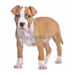 Αμέρικαν Σταφορντσαϊρ Τεριέ | puppy4u.gr