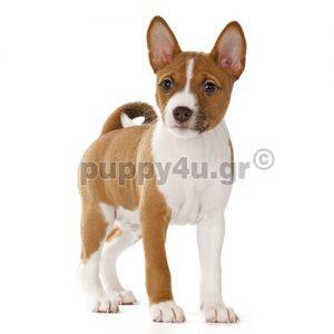 Μπασέντζι | puppy4u.gr