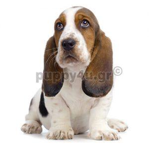 Μπασέ Χάουντ | puppy4u.gr