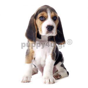 Μπίγκλ | puppy4u.gr