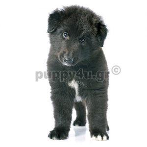 Βέλγικος Ποιμενικός Γκρένενταλ | puppy4u.gr
