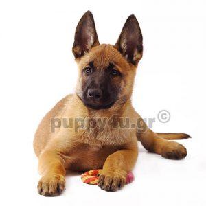 Βέλγικος Ποιμενικός Μαλινουά |puppy4u.gr
