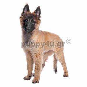 Βέλγικος Ποιμενικός Τερβίρεν | puppy4u.gr