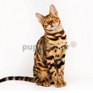 Γάτα Βεγγάλης | puppy4u.gr