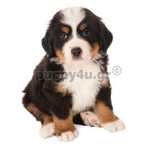 Βέρνης | puppy4u.gr