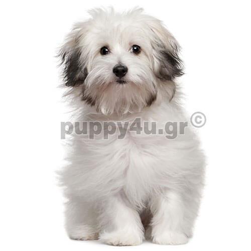 Μπιζόν Μπολονέζ | puppy4u.gr