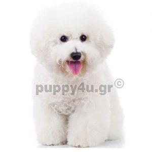 Μπισόν φριζέ   puppy4u.gr