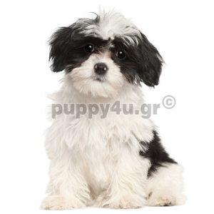 Μπισόν Χαβανέζ   puppy4u.gr