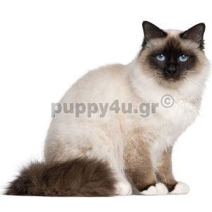 Γάτα Βιρμανίας | puppy4u.gr