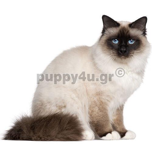 8fa71500ab75 Γάτα Βιρμανίας