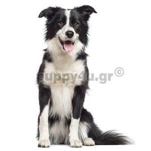 Μπόρντερ Κόλι   puppy4u.gr
