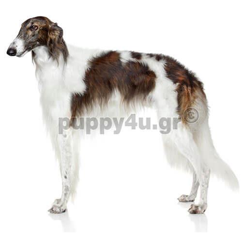 Μπορζόι   puppy4u.gr