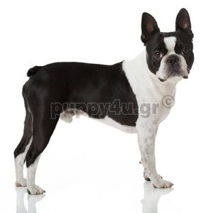 Μπόστον Τεριέ   puppy4u.gr