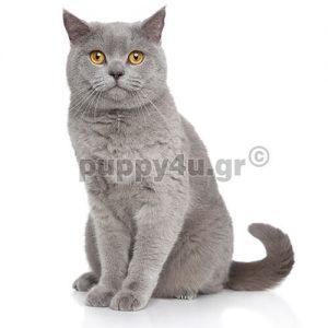 Γάτα Βρετανική Κοντότριχη | puppy4u.gr