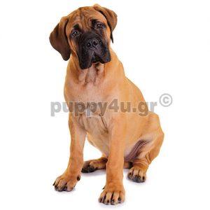 Μπούλμαστιφ   puppy4u.gr