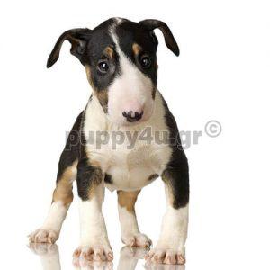 Μπούλ τεριέ | puppy4u.gr