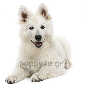 Λυκόσκυλο Καναδέζικο-Ελβετίκο | puppy4u.gr