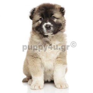 Ποιμενικός Καυκάσου   puppy4u.gr