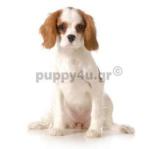 Καβαλιέρ Κίνγκ Τσάρλς Σπανιελ   puppy4u.gr