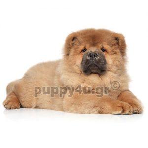 Τσόου Τσόου | puppy4u.gr
