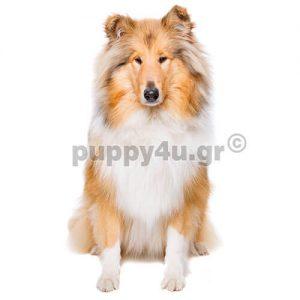 Κόλεϊ   puppy4u.gr