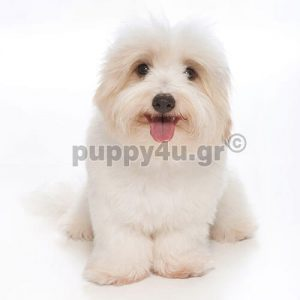 Κοτόν Ντε Τουλεάρ | puppy4u.gr