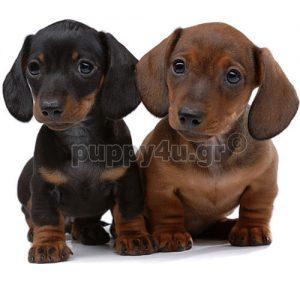 Ντάτσχουντ   puppy4u.gr