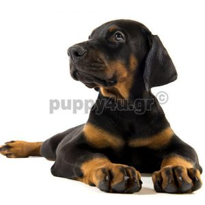 Ντόμπερμαν | puppy4u.gr