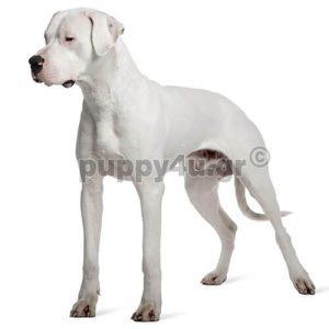 Ντόγκο Aρτζεντίνο | puppy4u.gr