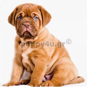 Ντογκ Ντε Μπορντώ | puppy4u.gr