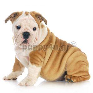 Αγγλικό Μπουλντόγκ | puppy4u.gr