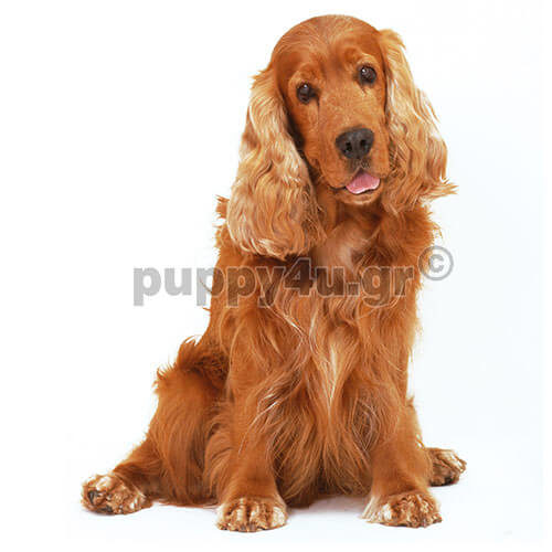 Αγγλικό Κόκερ Σπάνιελ | puppy4u.gr