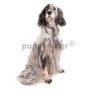 Αγγλικό Σέτερ,Σέτερ Λάβερακ | puppy4u.gr