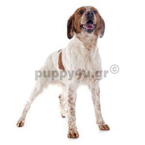 Επανιέλ Μπρετόν | puppy4u.gr