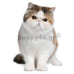 Γάτα Εξωτική | puppy4u.gr