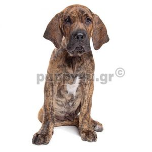 Φίλα Μπραζιλέιρο | puppy4u.gr