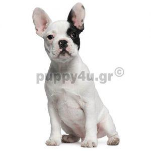 Γαλλικό Μπουλντόγκ | puppy4u.gr