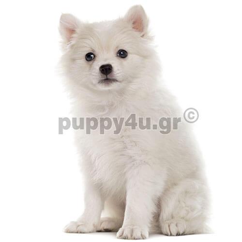 Γερμανικό Σπίτζ | puppy4u.gr