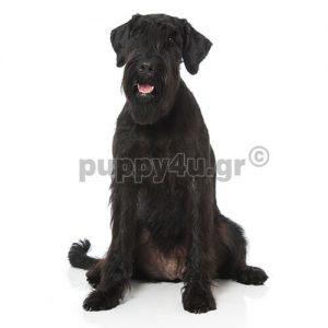 Σνάουτσερ Γίγας | puppy4u.gr