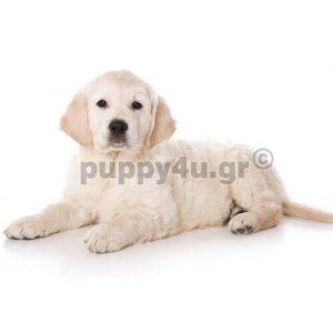 Γκόλντεν Ριτρίβερ | puppy4u.gr