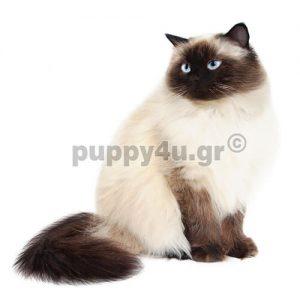 Γάτα Ιμαλαίων | puppy4u.gr