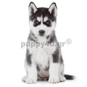 Χάσκι Σιβηρίας | puppy4u.gr
