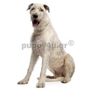 Ιρλανδικό Γουλφχάουντ |puppy4u.gr