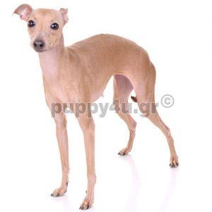 Ιταλικό Γκρεϊχαουντ   puppy4u.gr
