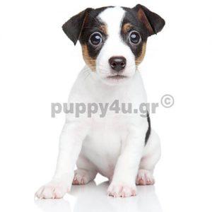 Tζάκ Ράσελ | puppy4u.gr